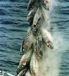Atún y hueva de atún de almadraba en conserva