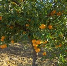 Mandarina del valle del Guadalhorce