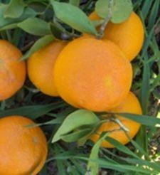 Naranja dulce del valle del Guadalhorce