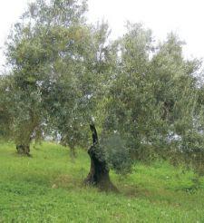 Oleocultura & Oleoturismo en Zuheros