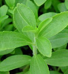Reparto de stevia y kalanchoe