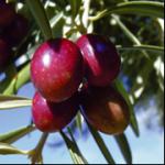 Aceite de oliva variedad royal