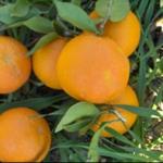 Naranja dulce grano de oro