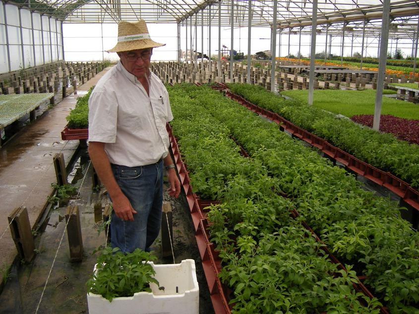 STEVIA YARACUY: Manuales de cultivo de la Stevia