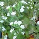 stevia-flor6