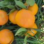 naranja-dulce-1
