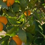 naranja-dulce-2